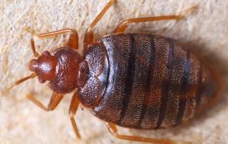 backpackers bedbug guide